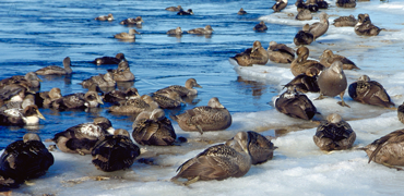 Common eiders at ice edge. Photo: Grant Gilchrist