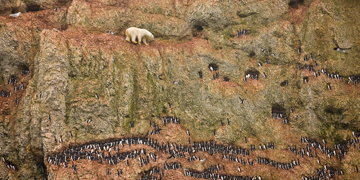 Polar bear raids murre cliff for food in Russia. Photo: Jenny E. Ross/Naturepl.com